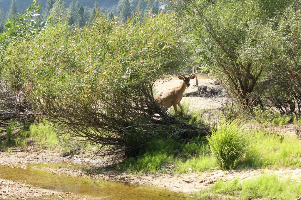 yose1_deer